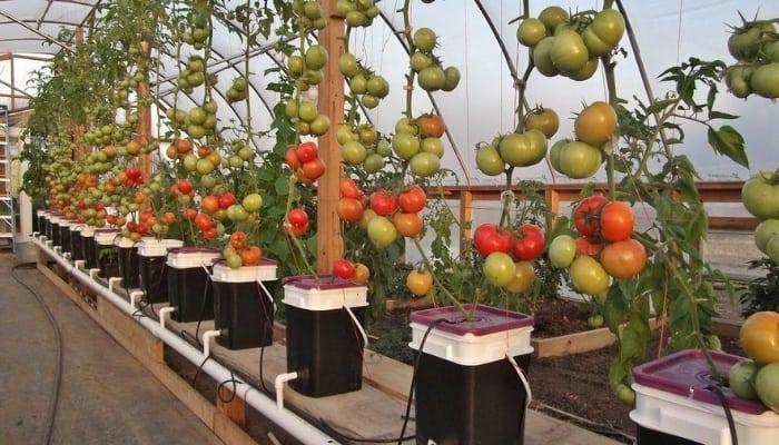 Dutch Bucket Tomatoes Growing