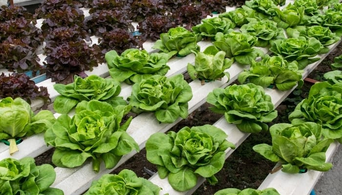Hydroponic Lettuce Plants