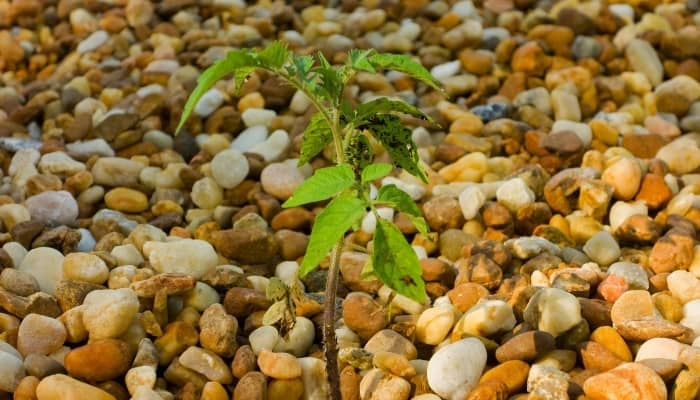 Hydroponic Plant Growing in Gravel