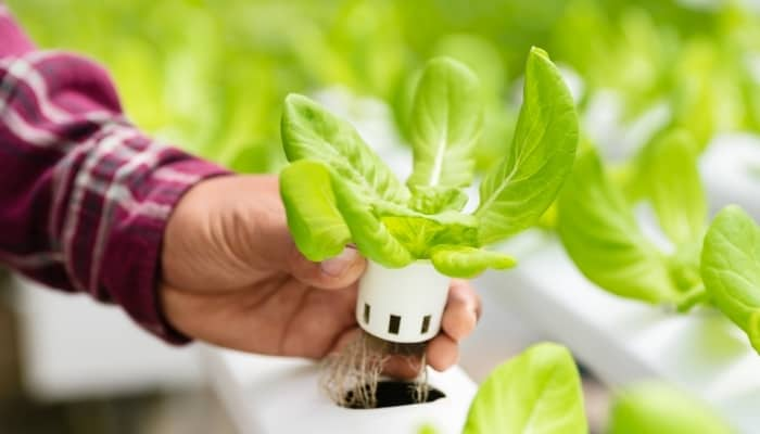 Man Holding Hydroponic Lettuce Plant