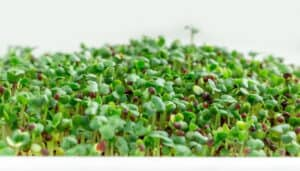 Mustard Microgreens Growing Hydroponically
