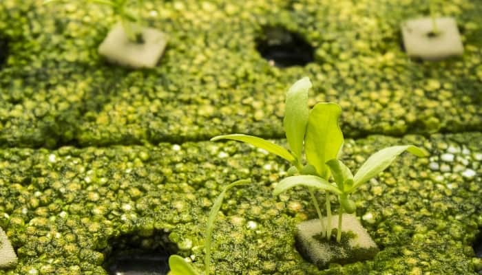 Young Seedling Growing in Oasis Cubes