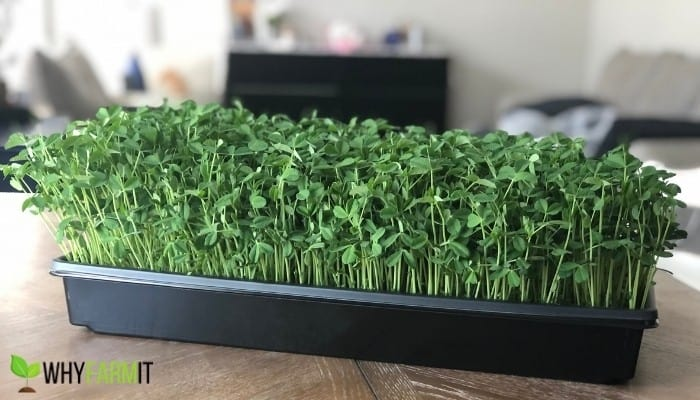10x20 Tray of Speckled Pea Microgreens