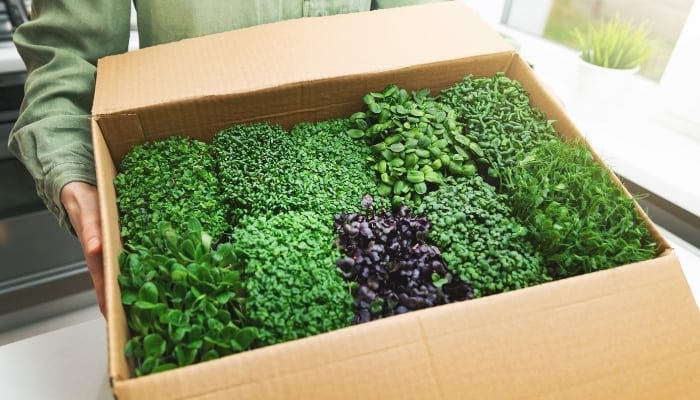 Box Of Microgreens Ready For Sale