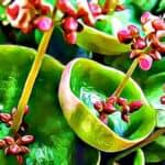 Animated Image of Crassula Umbella Plant