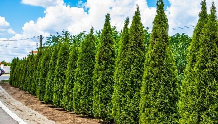 Arborvitae Trees In A Row