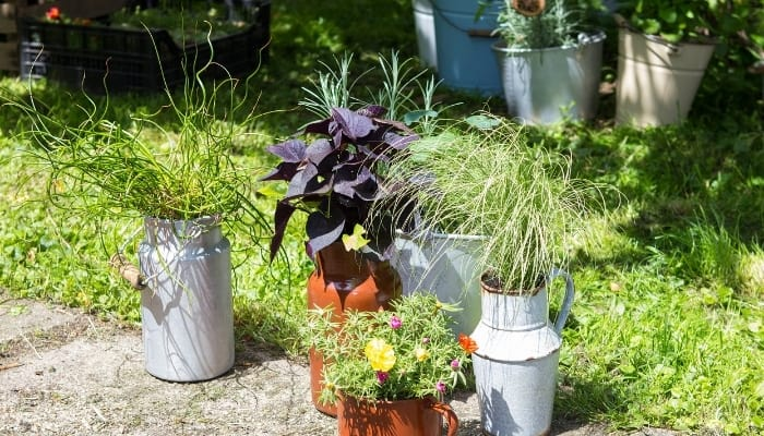 Corkscrew Rush With Other Potted Plants