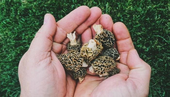 Freshly Harvested Morel Mushrooms