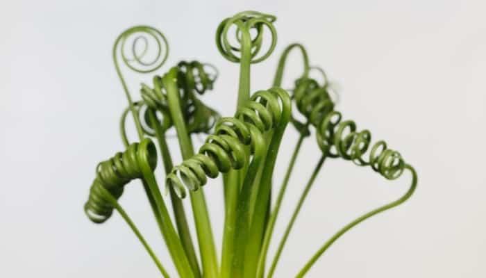 Frizzle Sizzle - Albuca Spiralis Plant