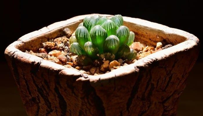 Haworthia Cooperi Truncata in Clay Pot