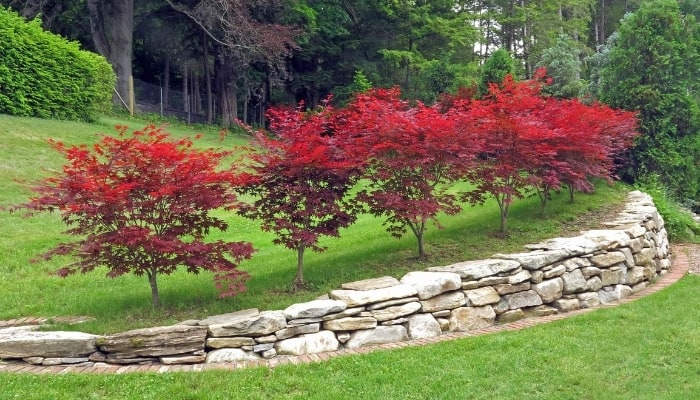 Japanese Maple Trees in Landscaping