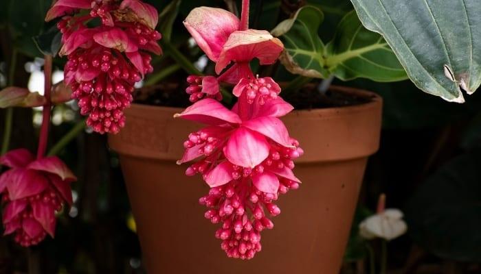 Medinilla Magnifica Plant In A Pot