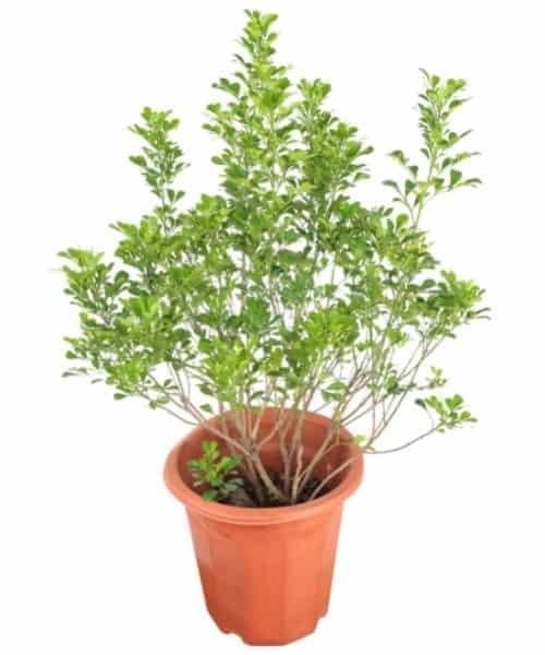 Potted Aglaia Odorata Plant