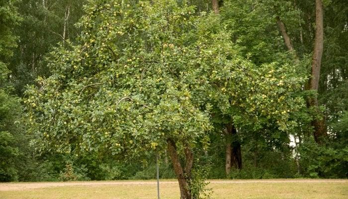 Ripe Apple Tree in Summer