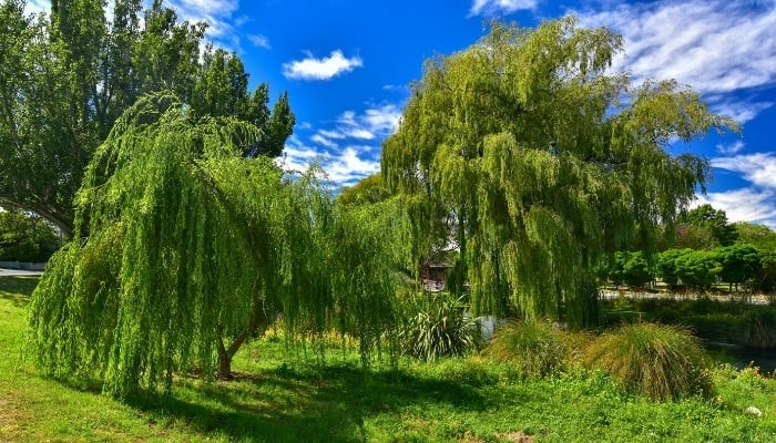 Willow Trees Growing in New Zealand