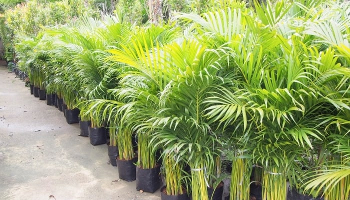 Young Palm Trees Growing in Pots