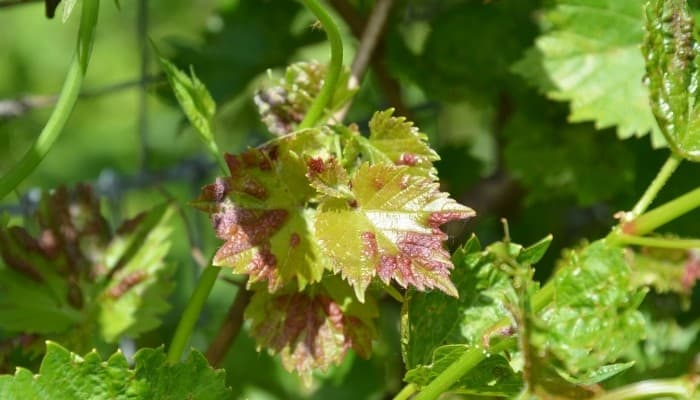 Anthracnose On Grape Leaf