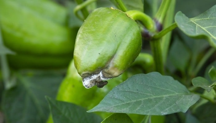 Bacterial Soft Rot On Young Pepper Plant