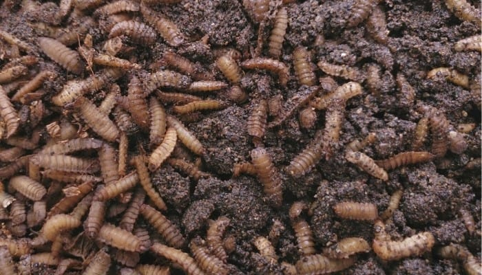 An abundance of black soldier fly larvae feasting on a compost heap.