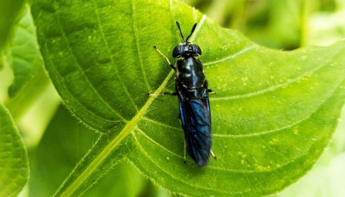 An adult black soldier fly on a half-eaten green leaf.