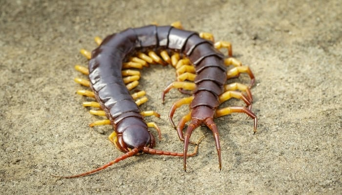 A large centipede on the ground with his body curved into a U.