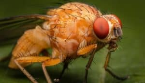 An up-close view of an adult fruit fly with red eyes.