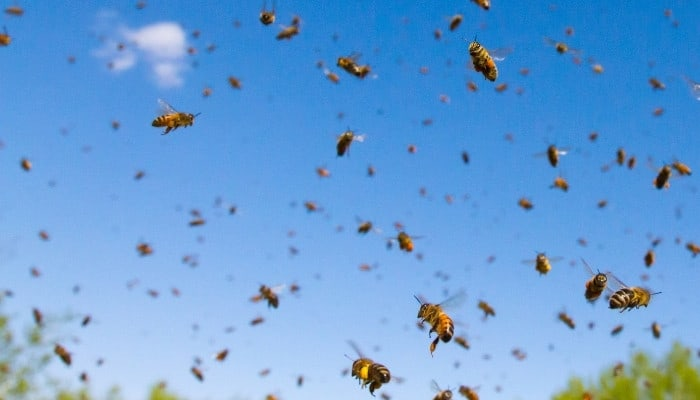 A large group of honey bees flying away from their hive.