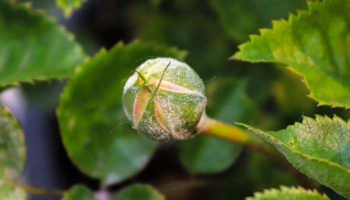 Powdery MildewOn Flower Bud