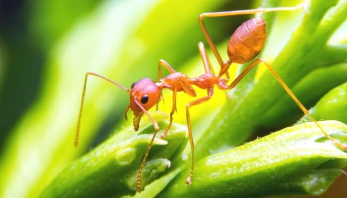 A red fire ant walking along green stalks.