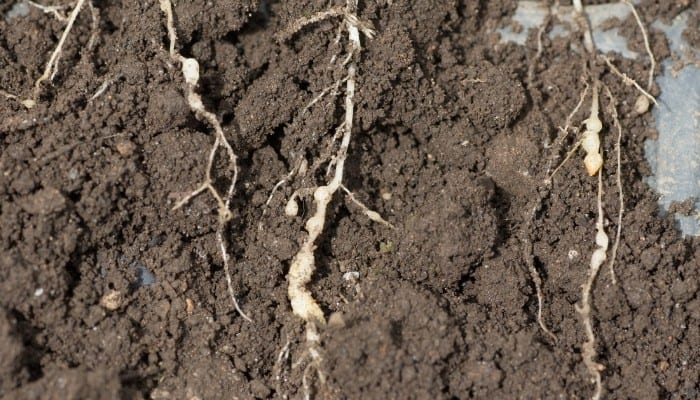 Swollen Roots from Clubroot