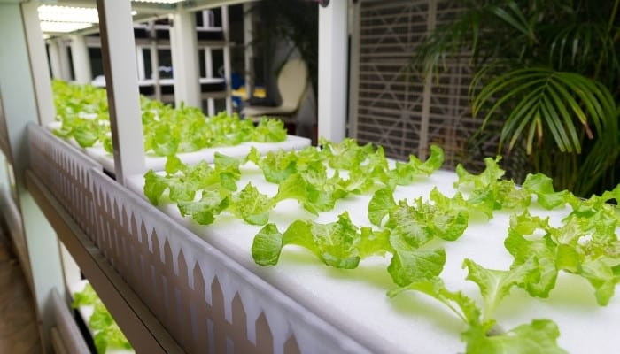 A home-based deep water culture system growing lettuce hydroponically.