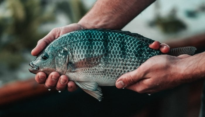 A man holding a large tilapia fish just pulled from his aquaponic system.