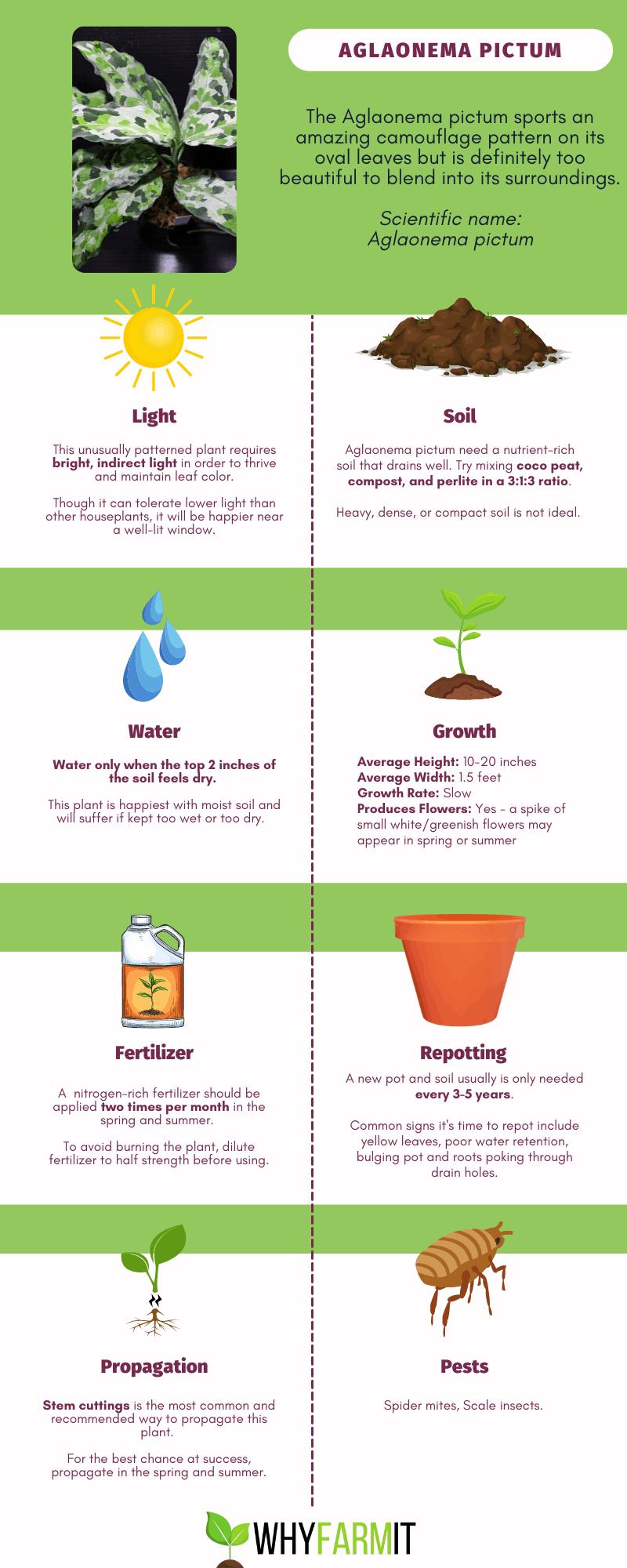 Infographic outlining care of Aglaonema pictum.
