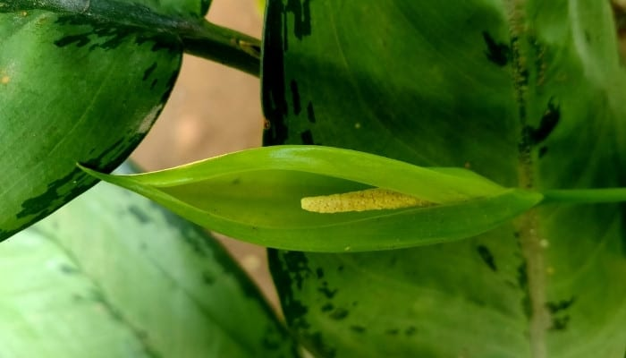 A young flower stalk on an Aglaonema pictum plant.