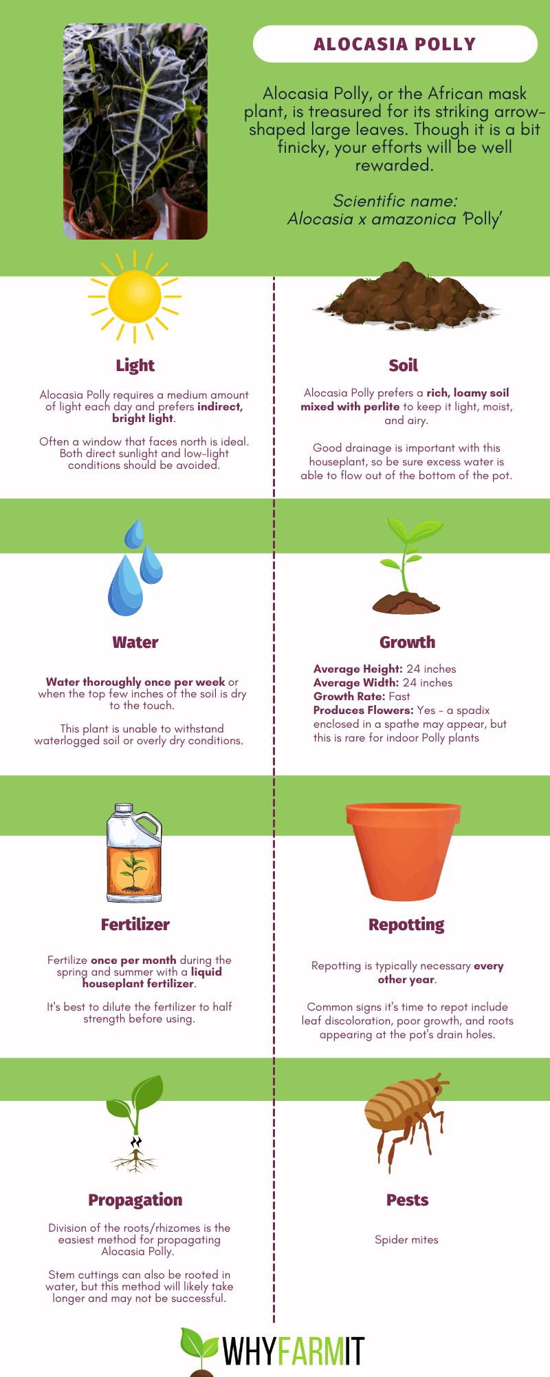 Infographic outlining care for Alocasia Polly