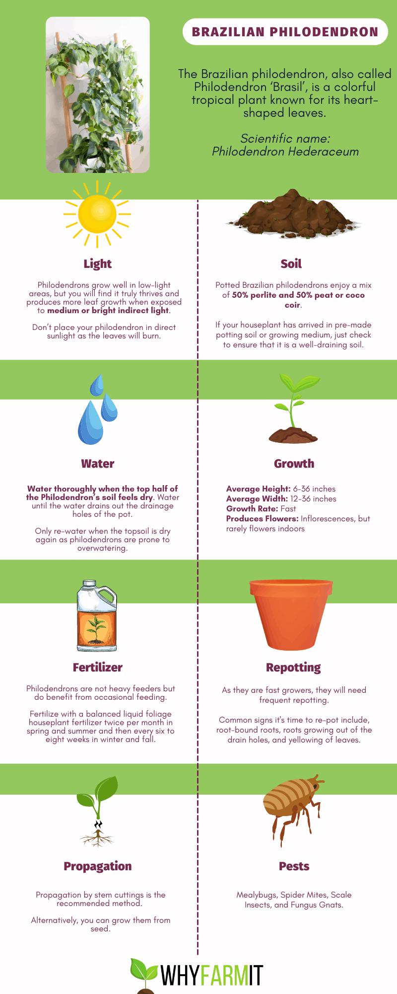 Brazilian Philodendron - Care Graphic