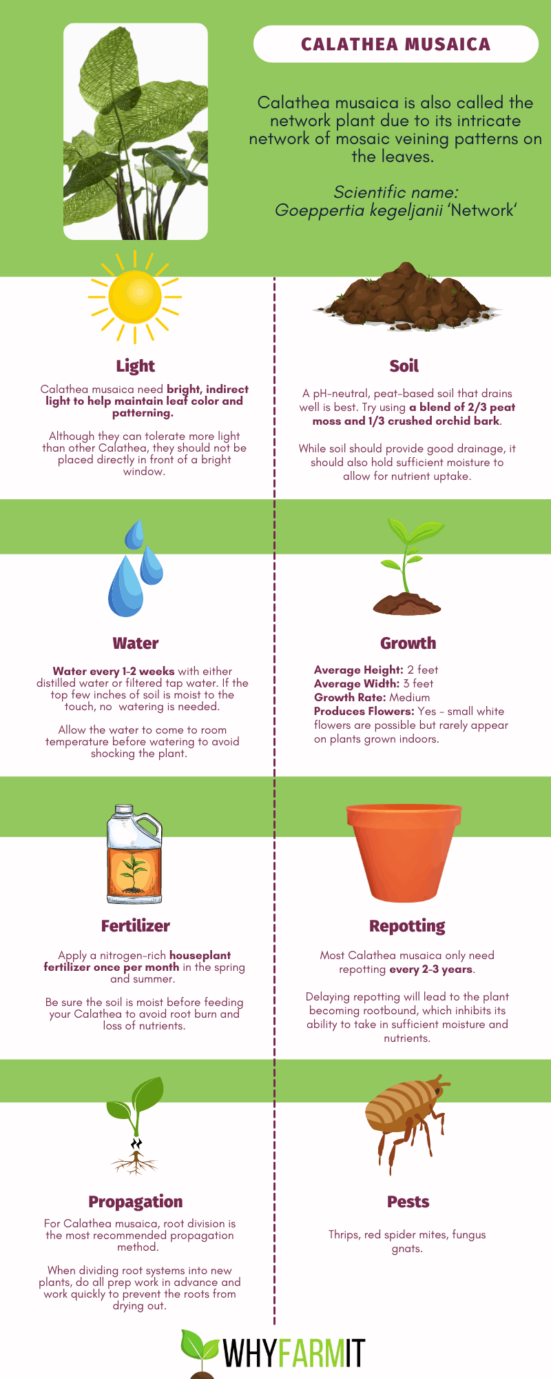 Infographic outlining care for Calathea musaica