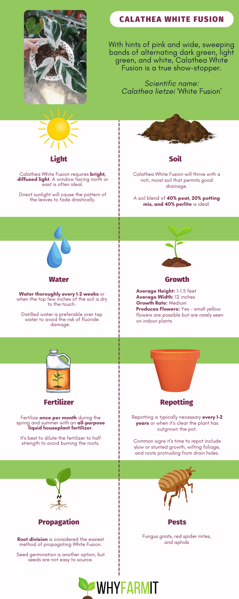 Infographic outlining care for Calathea White Fusion