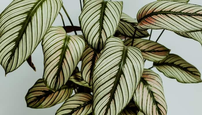 Close-up shot of Calathea white star leaves showing a light pink coloration.