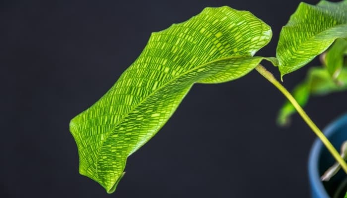 A leaf of a Calathea musaica plant against a black background.