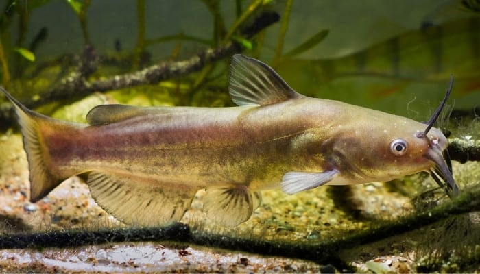 A small channel catfish swimming in a large fish tank.