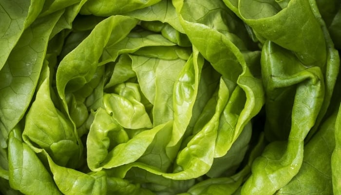 A close-up shot of beautiful butterhead lettuce.
