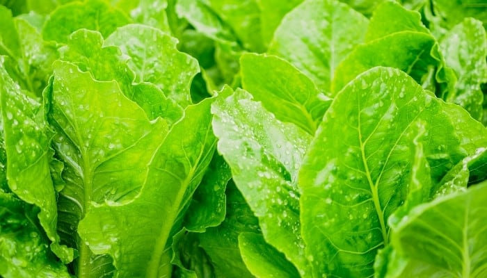 A close-up look at young romaine lettuce plants.