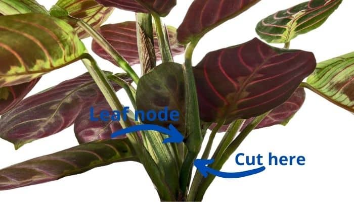 Arrows indicating the node and ideal cutting point on a prayer plant.