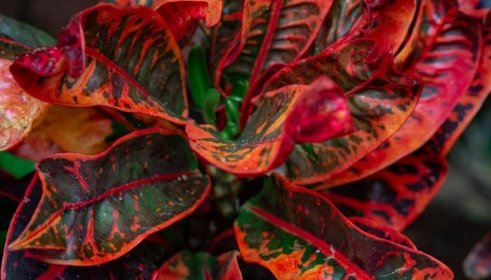 A mammy croton plant with fiery red and deep green foliage.