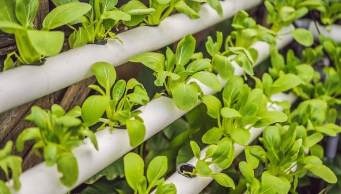 A ladder-style hydroponic system growing small, leafy greens.