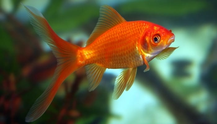 A bright orange goldfish swimming in a fish tank.