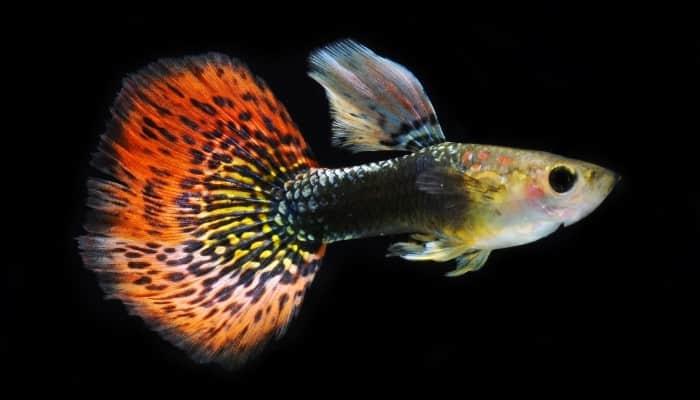 A beautiful guppy fish on a black background.