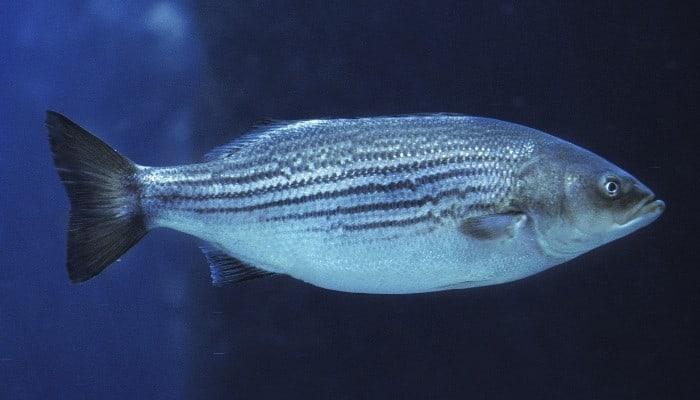 A hybrid striped bass swimming through dark blue water.