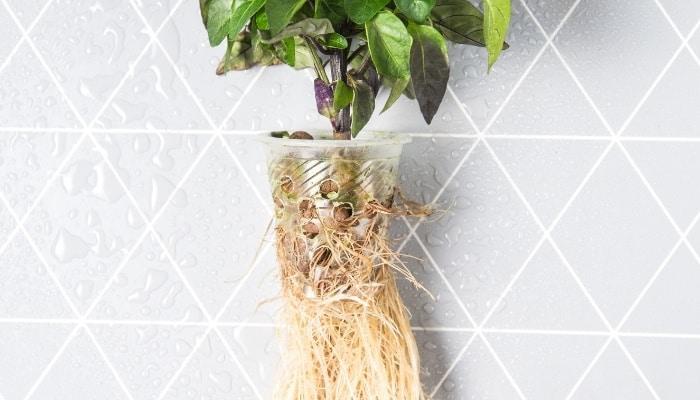 Hydroponic Net Pot with Basil